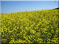 NU1334 : Linseed Rape and lots of Flying Insects by Les Hull