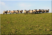SO8843 : Flock of sheep by Philip Halling