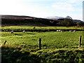 H6694 : Sheep, Goles by Kenneth  Allen