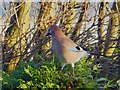 SE4104 : First time I've seen a Jay around here by Steve  Fareham
