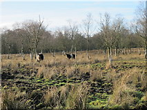 NY8161 : Belted Galloways near Langley by Mike Quinn