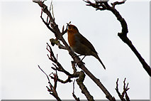 SJ3999 : Robin (Erithacus rubecula) in song, Melling by Mike Pennington