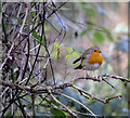 J4967 : Robin, Castle Espie by Rossographer
