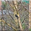 SJ9593 : Blackbird in a tree by Gerald England