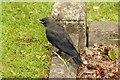 TF1963 : Fledgling Jackdaw by Richard Croft