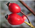 NJ3557 : Native Rose Hips by Anne Burgess