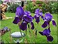 NT9249 : Blue irises by David Chatterton