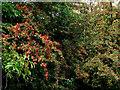 SJ9277 : Hawthorn fruit by the canal near Bollington, Cheshire by Roger  Kidd