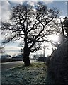 SJ4263 : Winter tree on Sandy Lane by Christine Johnstone