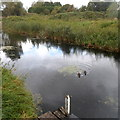 ST3035 : Ducks on the canal, Bridgwater by Jaggery