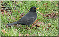 TQ1477 : Male Blackbird (Turdus merula), Osterley Park, Isleworth by Christine Matthews