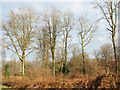 TG1622 : Beech trees in Great Wood by Evelyn Simak