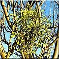 TL4459 : Mistletoe (Viscum album) by Tiger