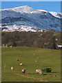 SD3096 : Sheep grazing at Haws Bank near Coniston by Karl and Ali
