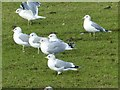 SJ9988 : Common Gulls by Dave Dunford