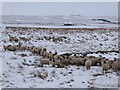 NY7360 : Sheep on Blackshield Bog by Oliver Dixon