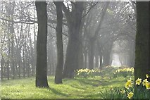 NZ2365 : Avenue of Trees and Daffodils besides Claremont Road by Andrew Tryon