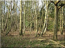 SO8843 : Woodland in The Belt by Philip Halling