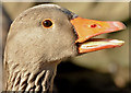 J4774 : Greylag goose, Kiltonga, Newtownards - February 2015(2) by Albert Bridge