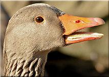 J4774 : Greylag goose, Kiltonga, Newtownards - February 2015(2) by Albert Bridge