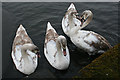 NS9977 : Cygnets by Anne Burgess