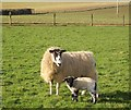 SX1954 : Ewe and lamb, Cartole by Derek Harper