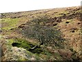 NY7362 : Hawthorn bush in the valley of the Howden Burn by Oliver Dixon