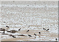 J5072 : Oystercatchers, Strangford Lough, Newtownards (February 2015) by Albert Bridge