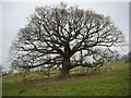SO9339 : Bare winter tree by Philip Halling