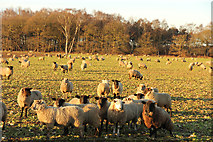 SK8571 : Sheep at Thorney Moor by Richard Croft