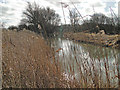 TG2521 : Reeds along the footpath of the River Bure by Adrian S Pye