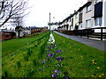 H4472 : Purple and white crocuses, Gallows Hill, Omagh by Kenneth  Allen