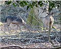 SP9712 : Ashridge Estate - Two Fallow Deer (Dama dama) by Rob Farrow
