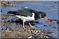 J3979 : Oystercatcher, Holywood (March 2015) by Albert Bridge