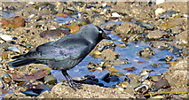 J3979 : Saltwater jackdaw, Holywood (March 2015) by Albert Bridge