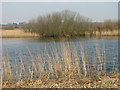 TG3604 : Reedbeds beside the River Yare by Evelyn Simak