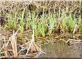 J3370 : Flag iris, Lagan Meadows, Belfast (March 2015) by Albert Bridge