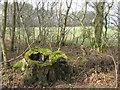 NT4963 : Mossy stump at Stobshiel by M J Richardson