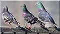 J3474 : Courting pigeons, Queen's Quay, Belfast - March 2015(3) by Albert Bridge