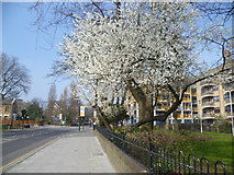 TQ3287 : Blossom on Green Lanes by Marathon
