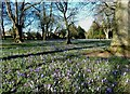 NS3320 : Crocuses In Corsehill Park by Mary and Angus Hogg