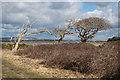 SU7800 : Windswept trees by Ian Capper