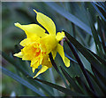 TM4396 : Daffodil (Narcissus) flower by Evelyn Simak