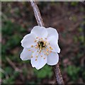 SK5034 : First blackthorn blossom by David Lally