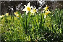 SO6831 : Wild daffodils by Philip Halling