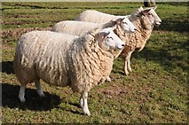 SO6830 : Three ewes by Philip Halling