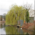 TL8508 : Willow on the Chelmer & Blackwater Navigation, Heybridge by Roger Jones