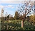 SJ5069 : A Striped Red Tree by Des Blenkinsopp