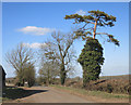 SP6914 : Spindly Tree with Ivy by Des Blenkinsopp