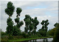 SJ9103 : Recovering poplar trees near Fordhouses, Wolverhampton by Roger  Kidd